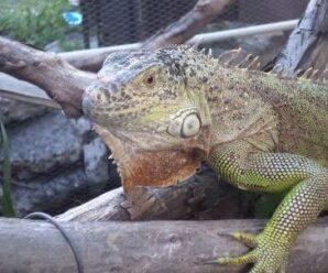 La iguana está engordando