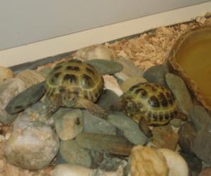 Coprofagia en las tortugas