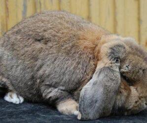 Sobrepeso u obesidad en conejos