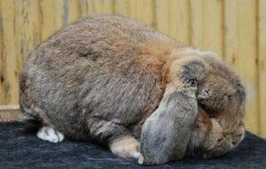 sobrepeso u obesidad en conejo