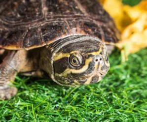 Como saber si la tortuga esta gorda u obesa