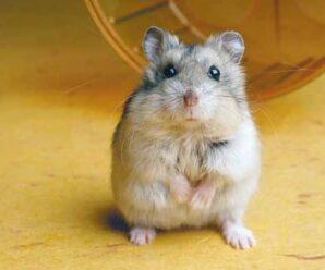 5 razones para tener a un hámster como mascota