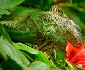 Alimentación adecuada para la iguana