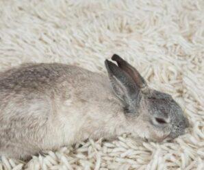 ¿Cómo tranquilizar a un conejo?