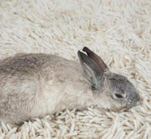 como tranquilizar a un conejo