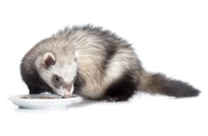 Hurón no quiere comer