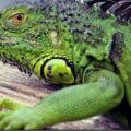 Mi iguana está decaída