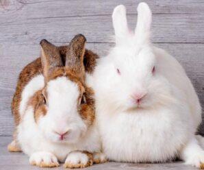 ¿Cuáles son las razas de conejos más sorprendentes?
