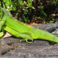 10 Razones para tener una iguana como mascota