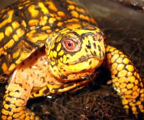 Ojos rojos o hinchados en la tortuga
