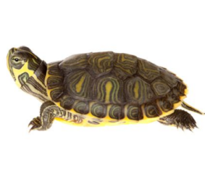 Tortuga de rayas amarillas (trachemys scripta troosti) | características e información