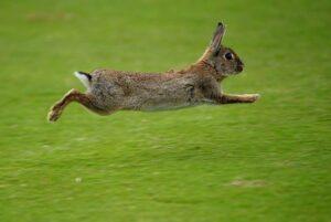 Los conejos brincan