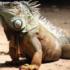 Sarna en iguanas