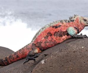 Iguanas rojas